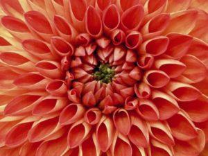 оранжевая Дахлия. фото