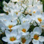 первые весенние цветы - подснежники. фото