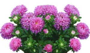 цветы астры. фото
