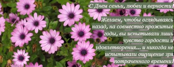 розовые ромашки. фото