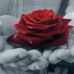 красная роза в ладонях. фото