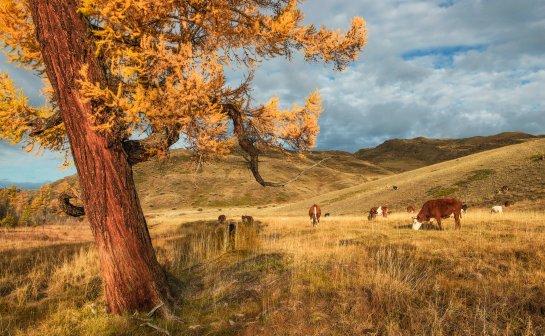 холмистая местность с деревом и коровами. фото