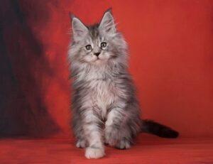 Длинношерстный котенок. фото